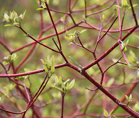 red twig dogwood branches (courtesy of Prairie Nursery)