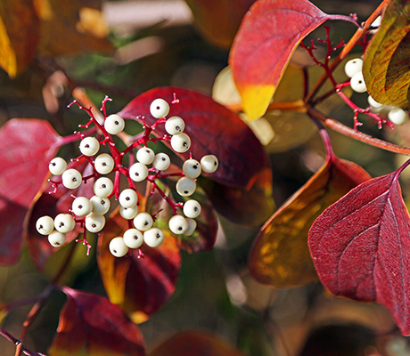 red twig dogwood with fall color and berries (courtesy of Prairie Nursery)