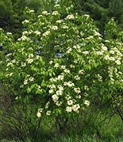 Nannyberry Viburnum shrub