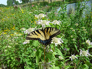 butterfly on native plants on the shore of Valley Lake